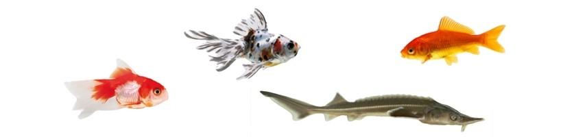 Goldfish (Agua Fria)