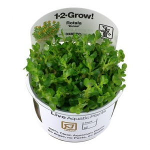 "Rotala Indica ""bonsai"" 1-2 Grow !"