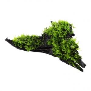 Vesicularia Montagnei Enraizado Manglar