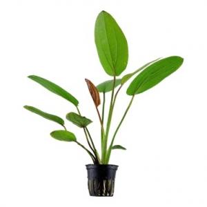 """Echinodorus """"barthii"""" Maceta"""