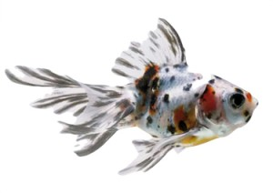 Fantail Calico S