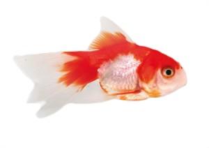 Fantail Rojo y Blanco S