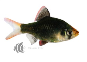 Barbo Sumatrano Verde