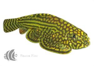 Plecostomus de Borneo