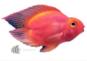 Pez Loro Red Parrot