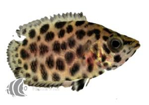 Gourami Leopardo