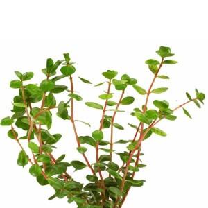 Rotala Rotundifolia Manojo