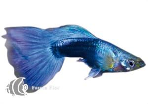 Guppy Macho Neon Azul