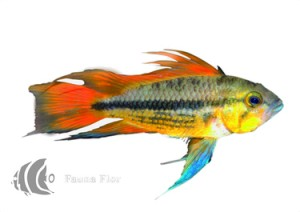 Ciclido Cacatuoide Double Red
