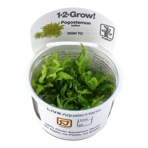 Pogostemon Helferi 1-2 Grow