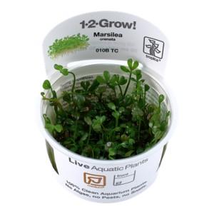 Marsilea Crenata 1-2 Grow !