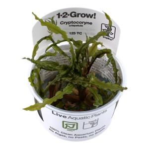 Cryptocoryne Crispatula 1-2 Grow !